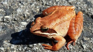 Grenouille des bois,photo: Richard Barkley